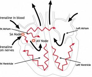 Kalp nasıl çalışır?Ani Ölüm Nasıl meydana gelir? How hearts Works? How it can cause sudden death?