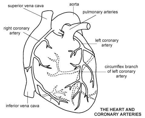 Coronary_arteries-hamilyon-koroner-arter-nedir1