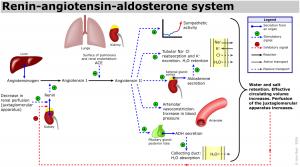 Renin-angiotensin-aldosterone_systemRenin-angiotensin-aldosterone_system-www.hamilyon.com