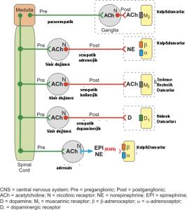 alfa-ve-beta-bloklayici-alpha-and-beta-blockers-hamilyon-heart-disease